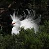 Snowy Egret, Alligator Farm, St. Augustine, Fl
