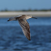 Short-billed Dowitcher flying