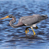 Tri-colored Heron at Myakka River State Park, Sarasota, Fl