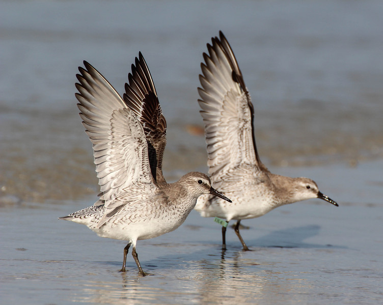 Red Knots on Sanibel Island, Florida