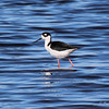 Black-necked Stilt at Myakka River State Park, Sarasota, Fl