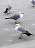Florida seagulls.