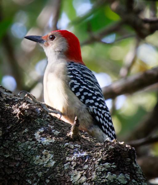 Red-bellied Woodpecker, Joan Durante Park