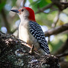 Red-bellied Woodpecker, Joan Durante Park
