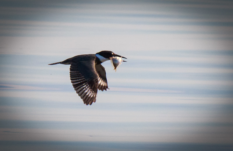 Belted Kingfisher with fish, Joan Durante Park