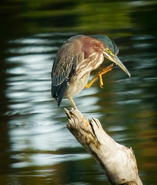 Green Heron,Wakodahatchee