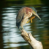 Green Heron,Wakodahatchee