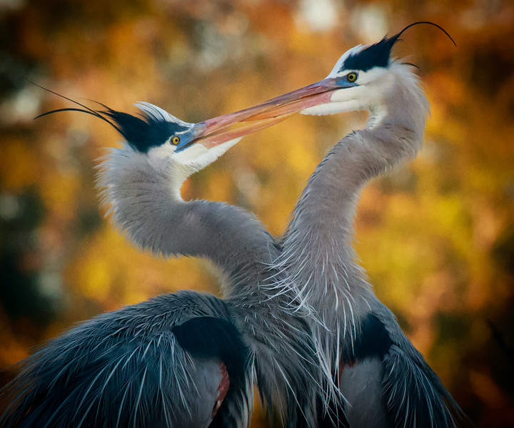 Great Blue Herons, Venice Rookery