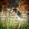 Northern Harrier, Green Cay
