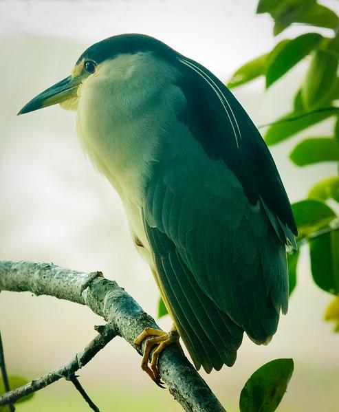Night Heron, Wakodahatchee