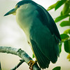 Night Heron, Wakodahatchee