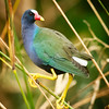 Purple Gallinule, Celery Fields
