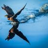 Cormorant, Quick Point