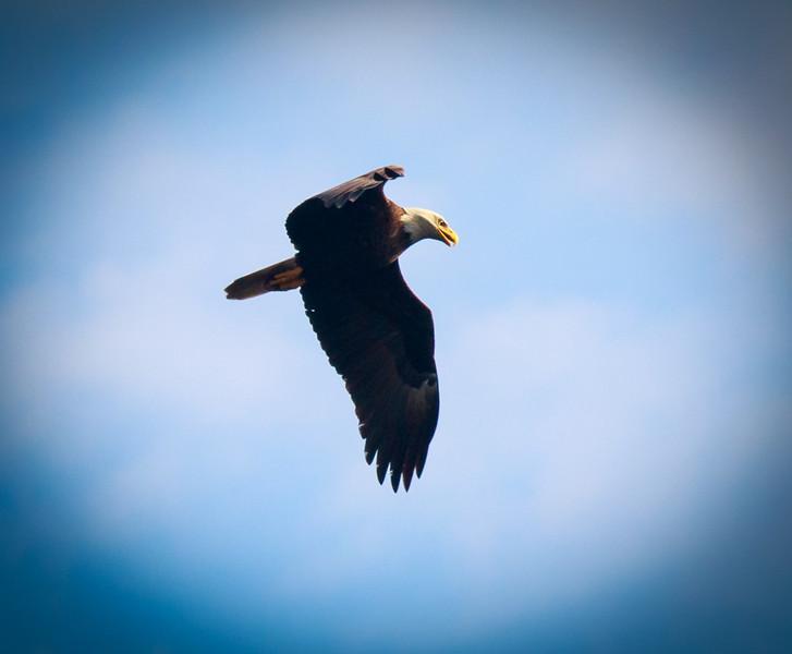 Bald Eagle, Myakka State Park