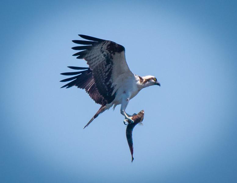 Osprey with catch, Joan Durante Park