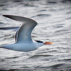 Forster's Tern, Quick Point