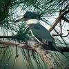 Belted Kingfisher, Wakodahatchee