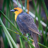 Yellow-headed Blackbird, Wakodahatchee