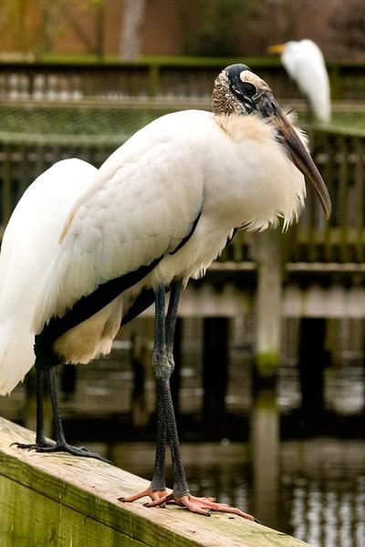 Wood Stork, Orlando, FL 1-2015