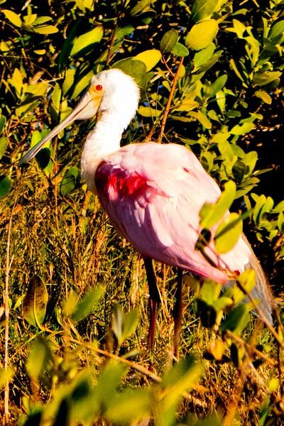 Rosette Spoonbill, Merritt Island, FL 1-2015