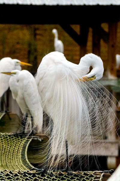 Great Egret, Orlando, FL 1-2015