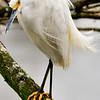 Snowy Egret, Orlando, FL 1-2015