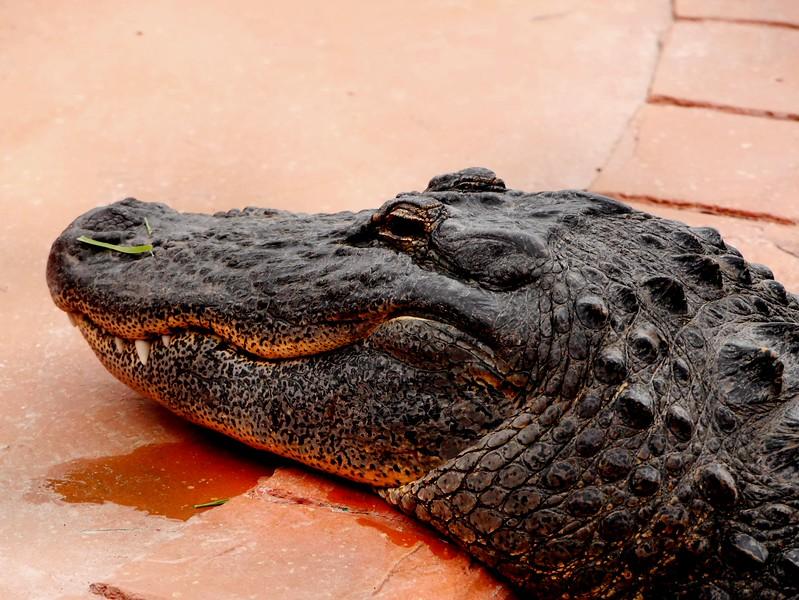 Alligator, Orlando, FL 1-2015