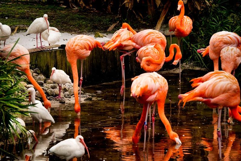 Flamingos & Ibis, Orlando, FL 1-2015