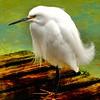 Snowy Egret, Florida 1/2015