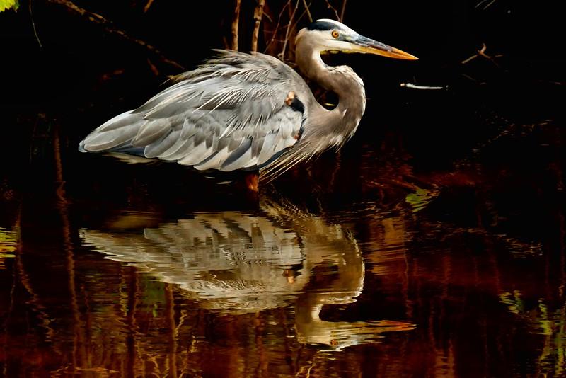Greqat blue Heron, florida 1/2015