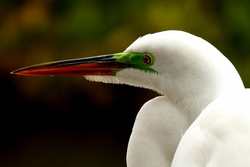 Head Shot, Great Egret, Florida 1/2015