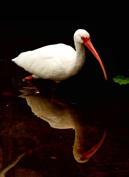 White Ibis, Florida 1/2015