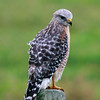 Red-shouldered Hawk, Celery Fieds