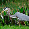 Gret Blue Heron with fish, Boynton Beach