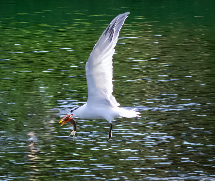 Forster's Tern with fish, Boyton Beach