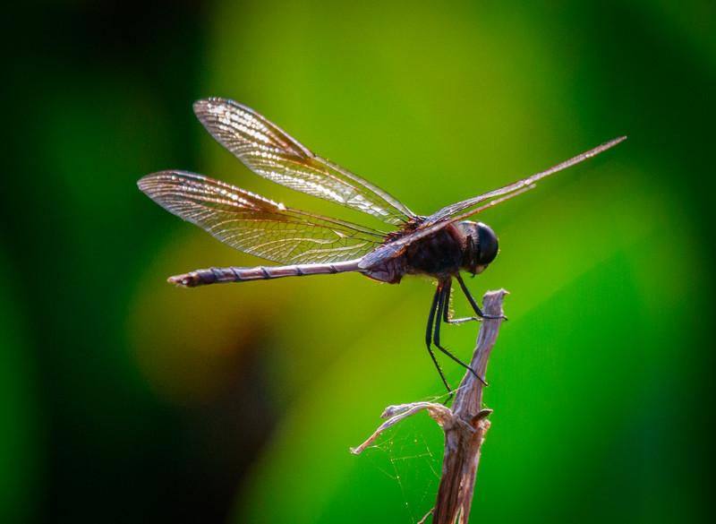 Dragon Fly, Green Cay