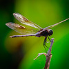 Dragon Fly, Green Cay