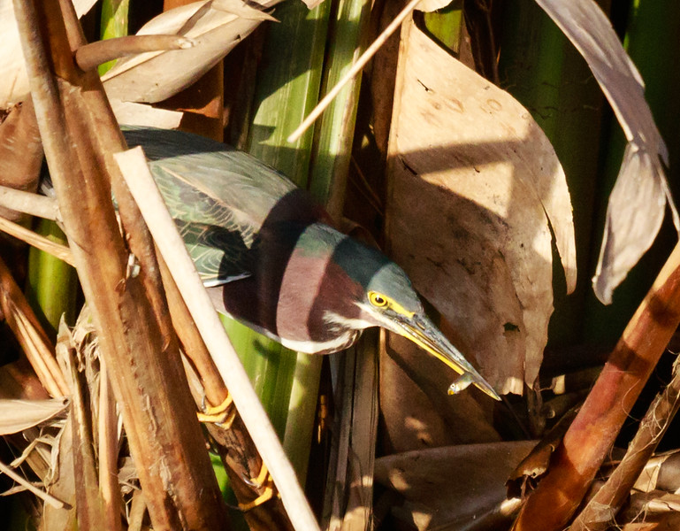 Green Heron with Fish,Celery Fields