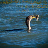 Cormorant with fish, Quick Point
