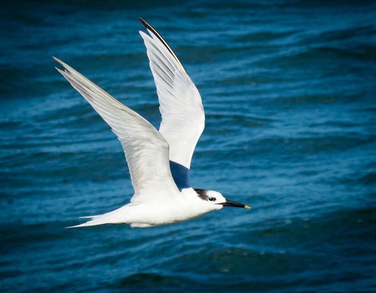 Sandwich Tern, Joan Delante Park