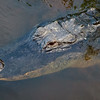 Alligator, Wakodahatchee