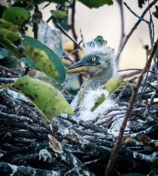 Great Blue Heron chick, Wakodahatchee