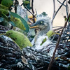 Great Blue Heron chick, Wakodahatchee