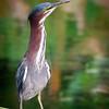 Gren Heron, Green Cay