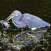 Tricolored Heron with Fish, Green Cay
