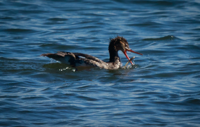Red-Breasted Merganser with eel, Leffis Key