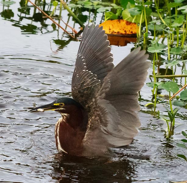 Green Heron with fish, Wakodahatchee
