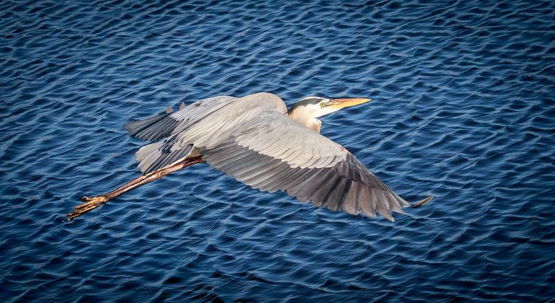 Great Blue Heron , Joan Durante Park