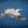 Great Blue Heron , Joan Durante Park