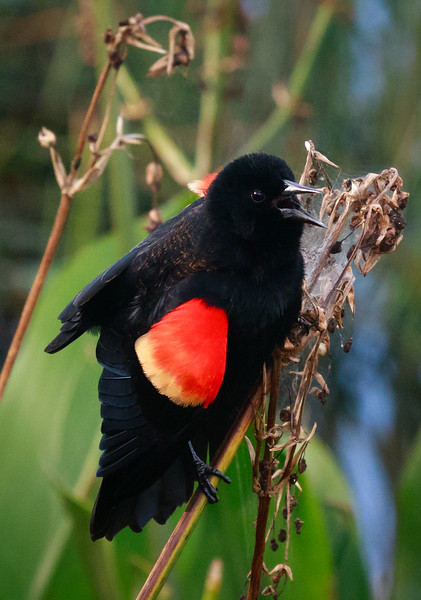 Red-winged Blackbird, Green Cay